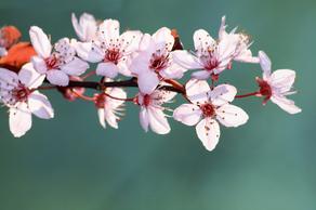 Cherry_blossom_w300